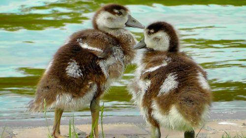 chicks small cute