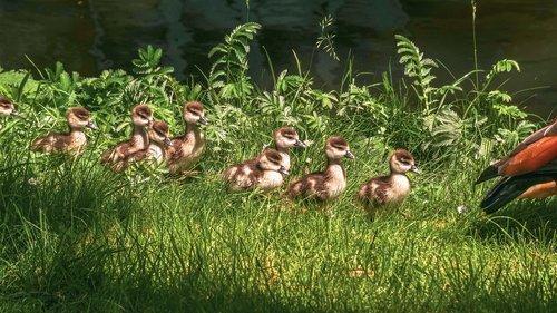 chicks  nilgans  goslings