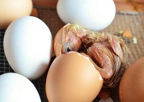 chicks hatch egg