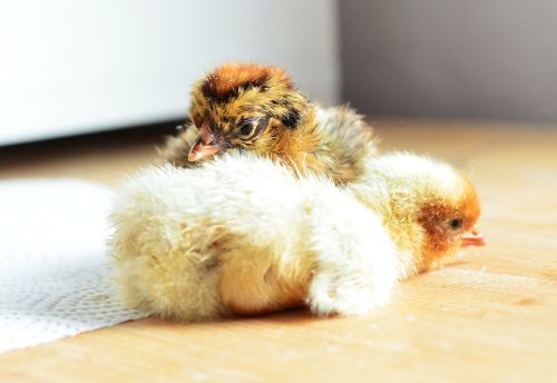 chicks hatched cute
