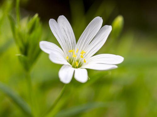 chickweed flower blossom