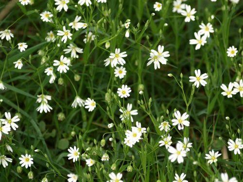 chickweed white plant