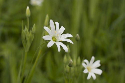 chickweed grandiflora  flowers  spring
