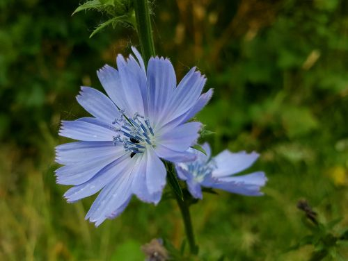 chicory beetles flower