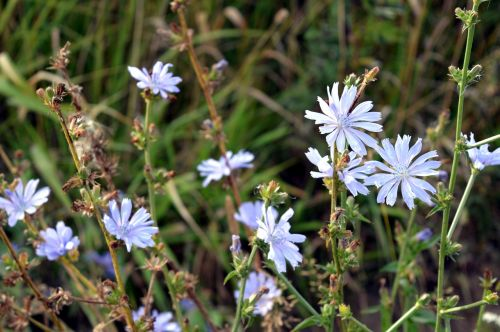 chicory flower natural medicine