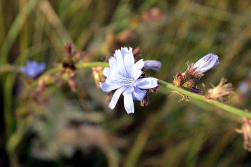 chicory flower plant