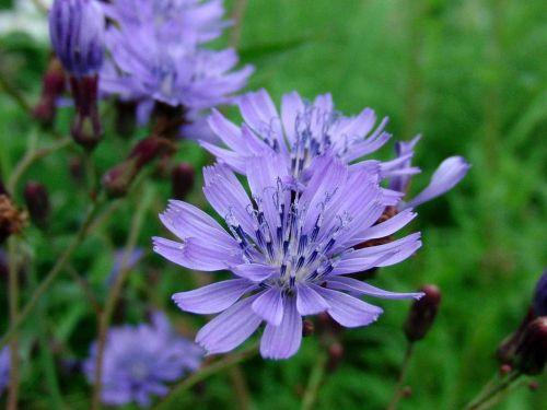 chicory cichorium blue flowers