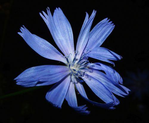 chicory flower blossom