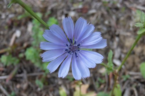 chicory flower nature macro
