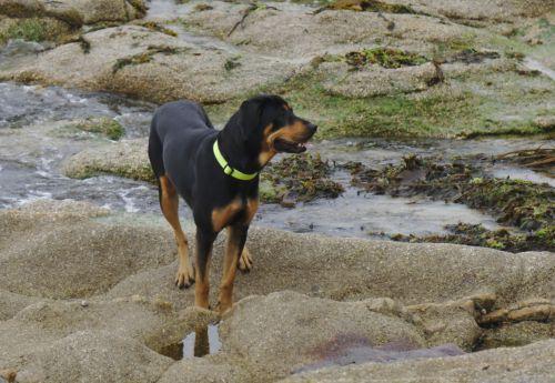 Dog Breed Beauceron
