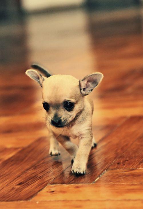 chihuahua,naminis gyvūnėlis,gyvūnas,šuniukas,mažas šuo,mažas,saldus,akys,žavinga,mažas