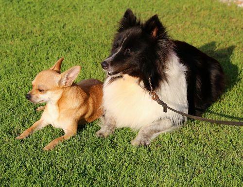 chihuahua dog shetland sheepdog