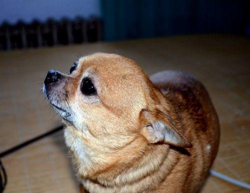 Chihuahua (a)