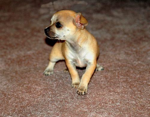 Chihuahua Dog Profile