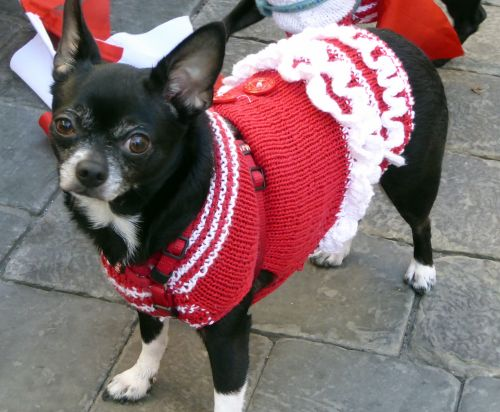 Chihuahua In Red Outfit