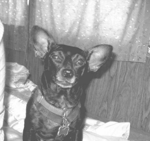 Chihuahua Puppy Dog Pet