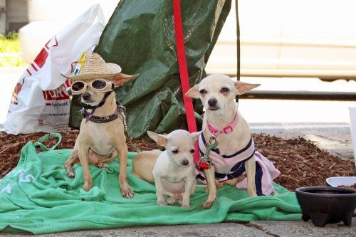 Chihuahua Trio