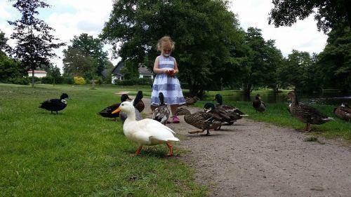 child ducks feeding ducks