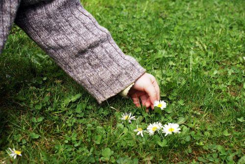 child's hand pick flowers daisy