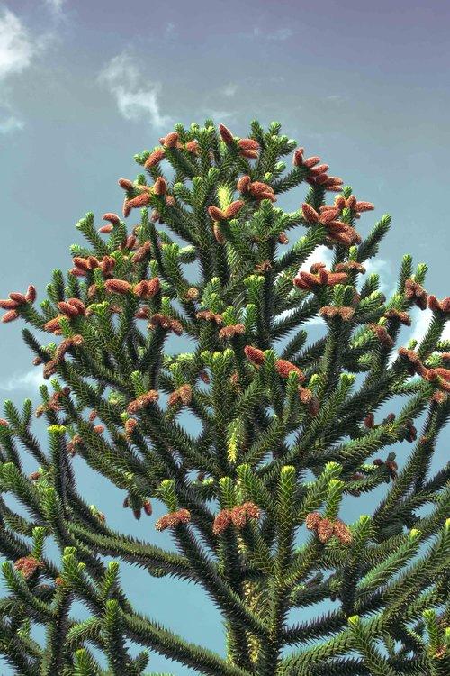chile pine  araucana  araucaria araucana