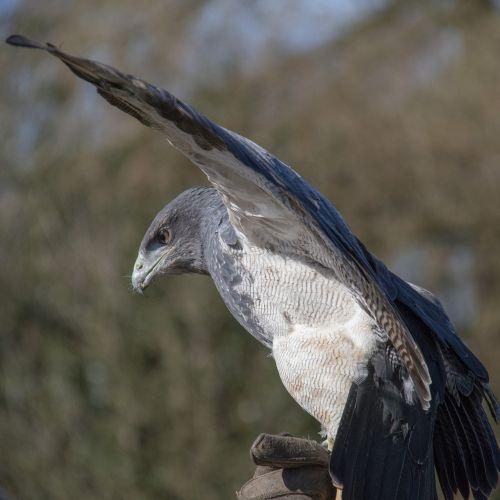 chilean blue eagle chilean