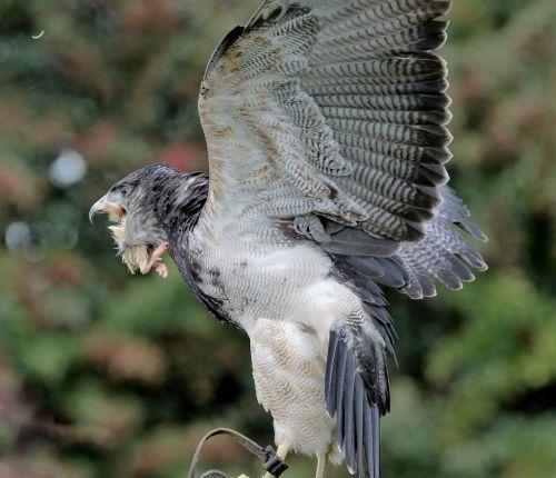 chilean blue eagle eagle black-chested