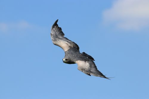 chilean blue eagle bird chilean