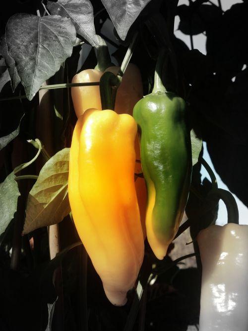 chili chili peppers yellow