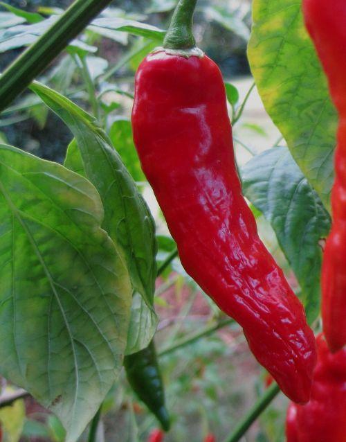 chili red bright