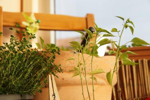chili plant herbs