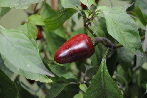 chili pepper loco plant