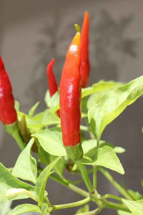 chilli peppers red