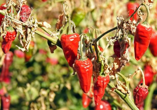 chilli spice sharp