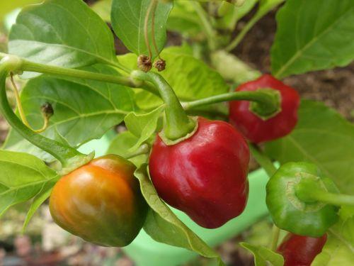 chilli pepper plant capsicum chinense