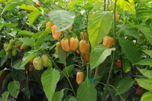 chilli peppers marco serra