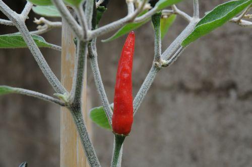 chilli peppers marco acrata