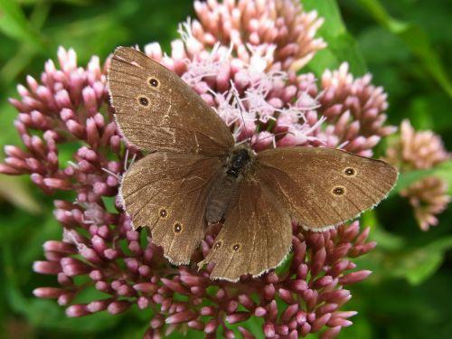 kaminkrėtys,aphantopus hyperantus,drugelis,vabzdys,gyvūnas,gamta,žiedas,žydėti,pieva,miškas