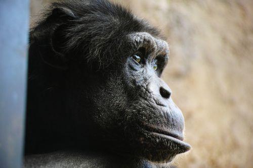 chimp monkey face