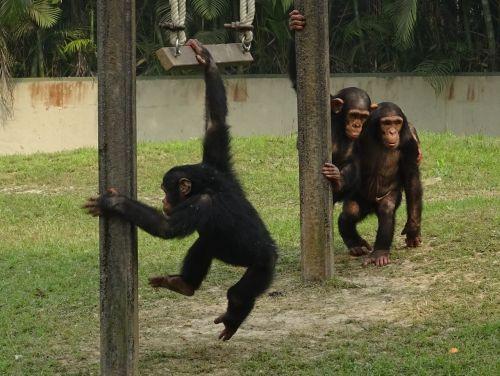 chimpanzee ape primate