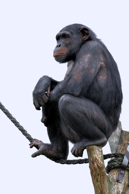 chimpanzee  monkey  primate