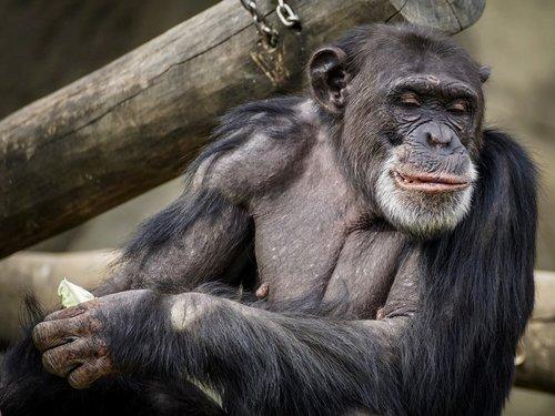 chimpanzee  monkey  ape