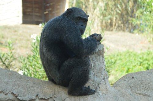 chimpanzee  primate  hominid