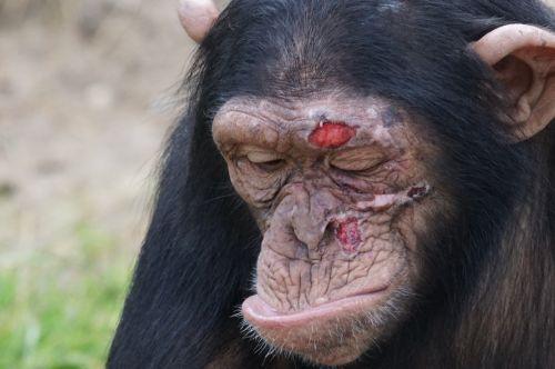 chimpanzee mammal injury
