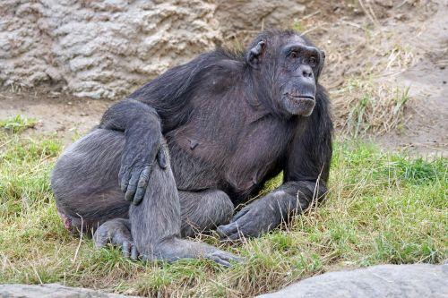 chimpanzee mammal dangerous