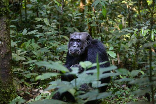 chimpanzee uganda monkey