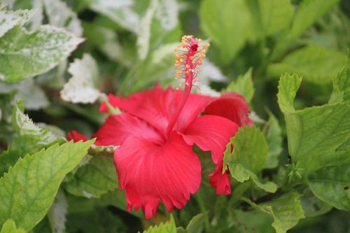 china rose hibiscus stamen