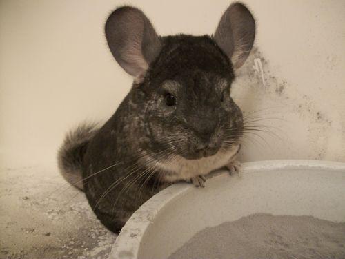 chinchilla grey gray