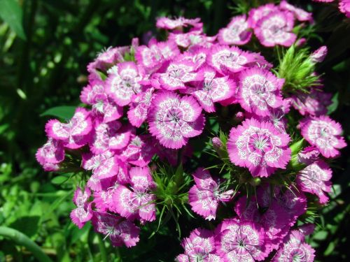 chinese carnation flower clove