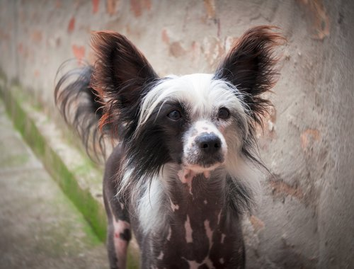 chinese crested puppy  chinese crested dog  puppy