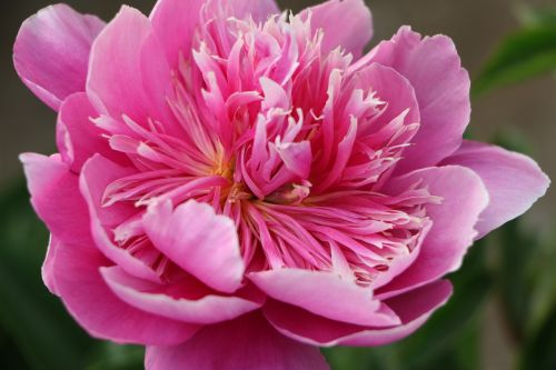 chinese herbaceous peony flower pink